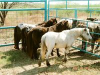 Mini horses for sale
