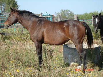 Appaloosa Horses for sale